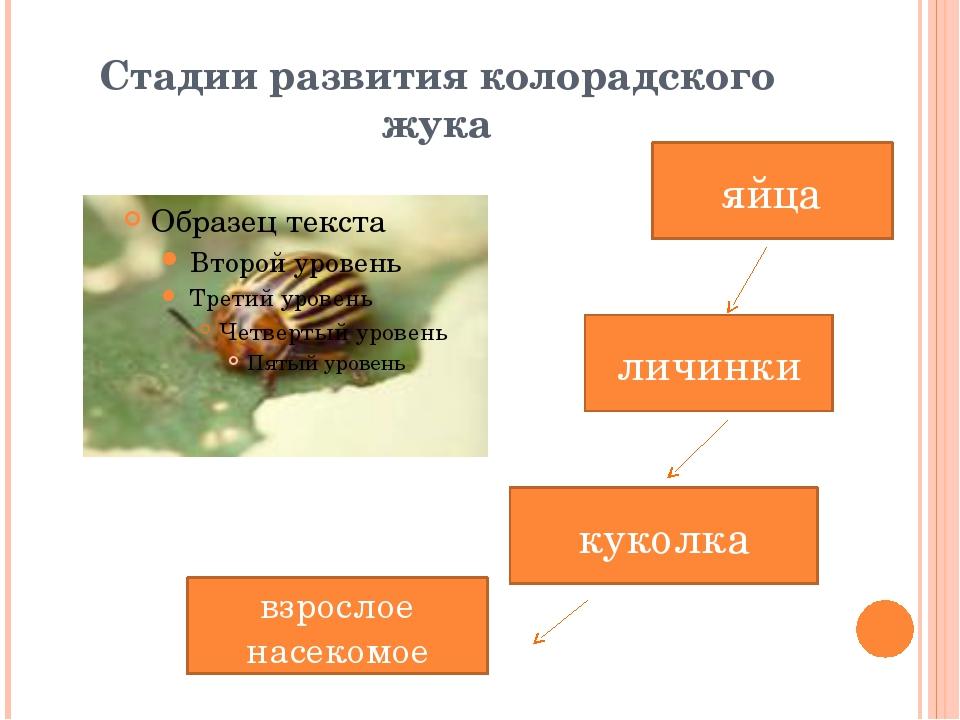 Стадии развития колорадского жука яйца куколка взрослое насекомое личинки