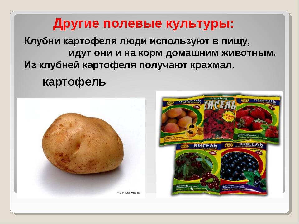 Клубни картофеля люди используют в пищу, идут они и на корм домашним животным...