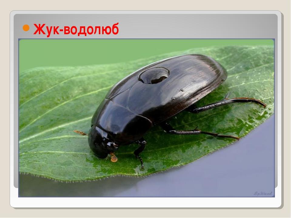 Картинка жука водолюба