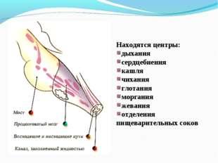 Находятся центры: дыхания сердцебиения кашля чихания глотания моргания жевани