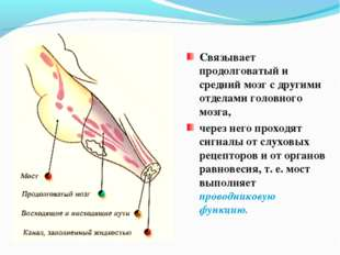 Связывает продолговатый и средний мозг с другими отделами головного мозга, че