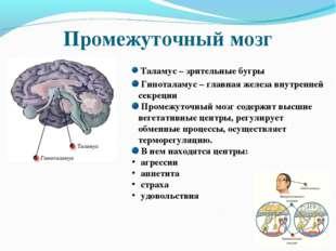 Промежуточный мозг Таламус – зрительные бугры Гипоталамус – главная железа вн