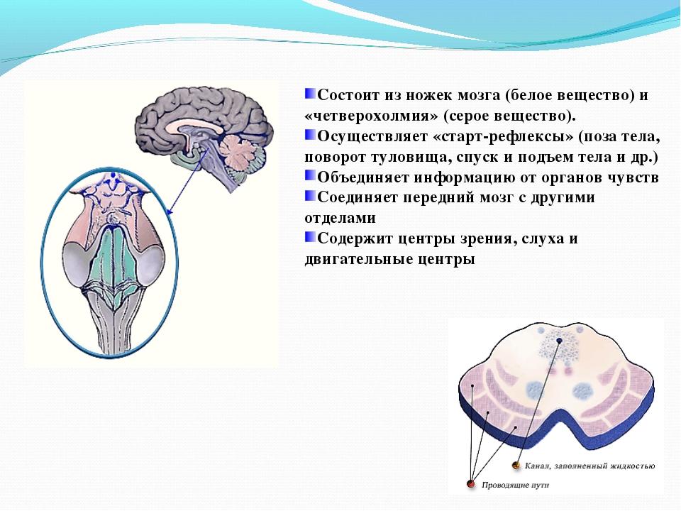 Состоит из ножек мозга (белое вещество) и «четверохолмия» (серое вещество). О...