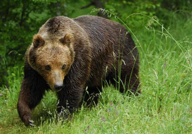 В Томской области численность медведей превысила допустимую …