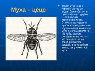 Муха – цеце Живет муха цеце в Африке. Их там 30 видов. Одни обитают в сухих с