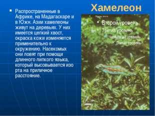 Хамелеон Распространенные в Африке, на Мадагаскаре и в Южн. Азии хамелеоны жи