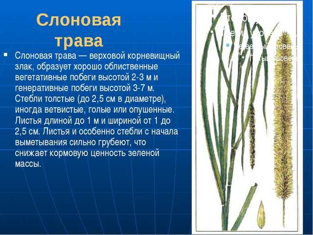 Слоновая трава Слоновая трава — верховой корневищный злак, образует хорошо об...