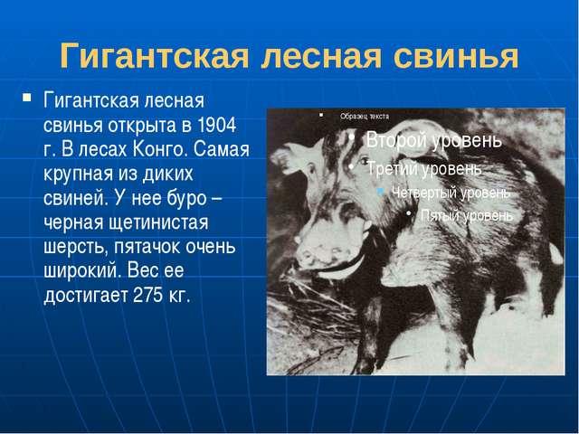 Гигантская лесная свинья Гигантская лесная свинья открыта в 1904 г. В лесах К...