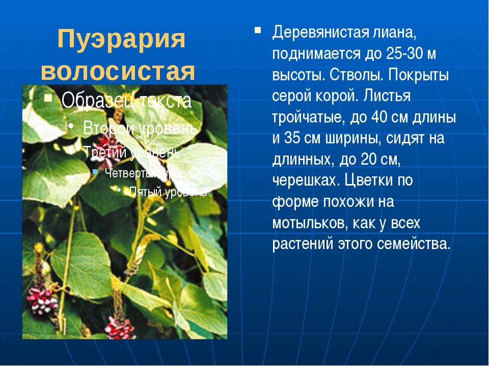 Пуэрария волосистая Деревянистая лиана, поднимается до 25-30 м высоты. Стволы...