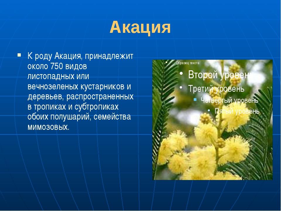 Акация К роду Акация, принадлежит около 750 видов листопадных или вечнозелены...
