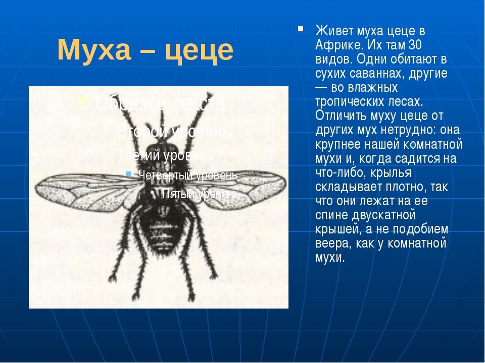 Муха – цеце Живет муха цеце в Африке. Их там 30 видов. Одни обитают в сухих с...