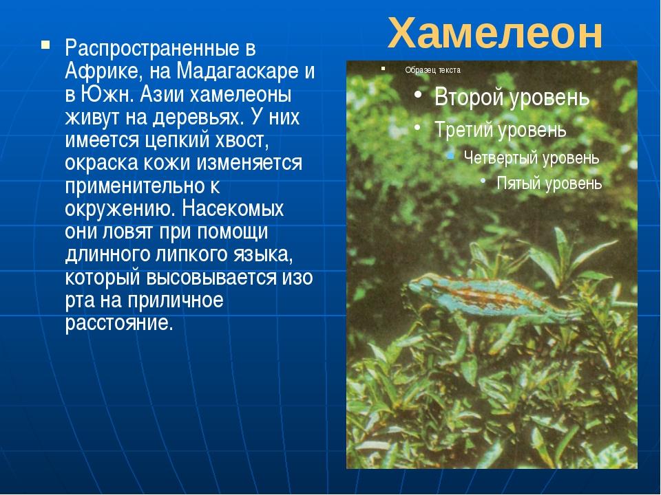 Хамелеон Распространенные в Африке, на Мадагаскаре и в Южн. Азии хамелеоны жи...
