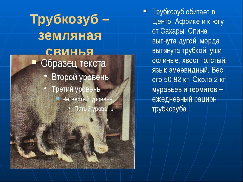 Трубкозуб – земляная свинья Трубкозуб обитает в Центр. Африке и к югу от Саха...
