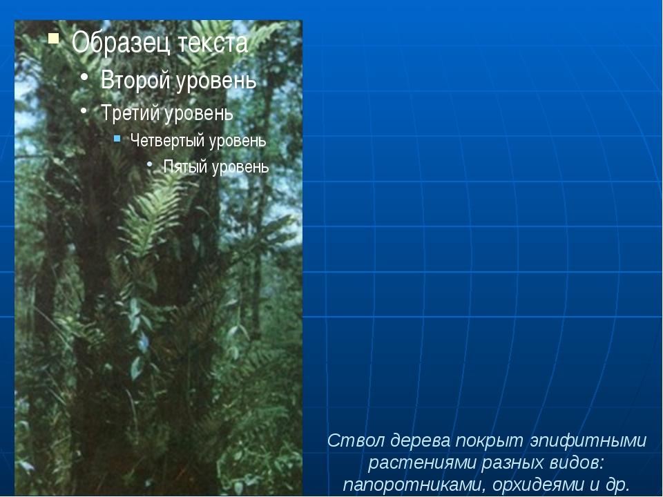 Ствол дерева покрыт эпифитными растениями разных видов: папоротниками, орхиде...