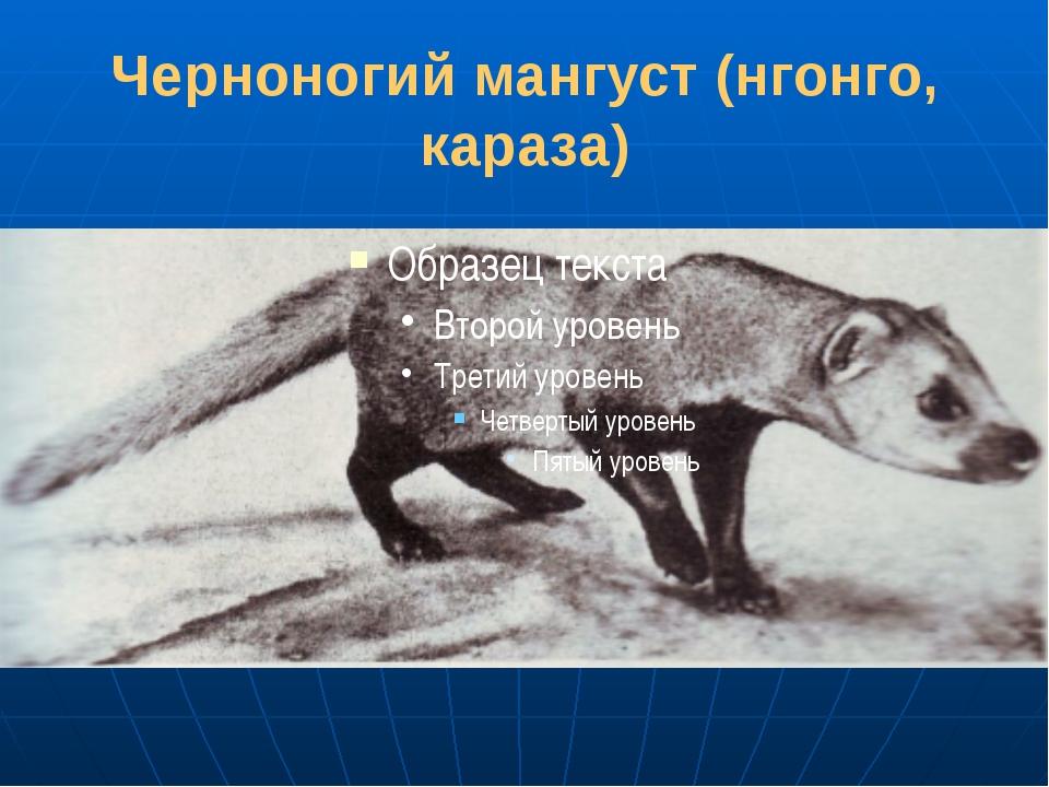 Черноногий мангуст (нгонго, караза)