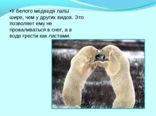 У белого медведя лапы шире, чем у других видов. Это позволяет ему не провалив