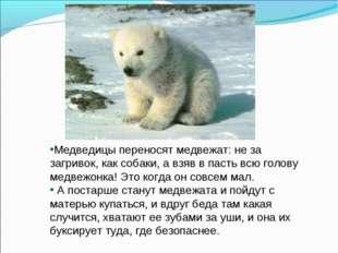 Медведицы переносят медвежат: не за загривок, как собаки, а взяв в пасть всю