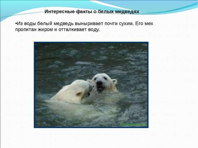 Интересные факты о белых медведях Из воды белый медведь выныривает почти сухи...