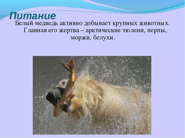 Питание Белый медведь активно добывает крупных животных. Главная его жертва –...