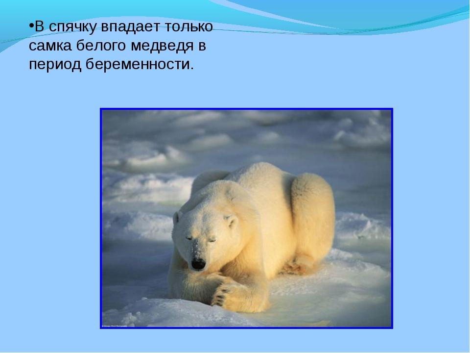 В спячку впадает только самка белого медведя в период беременности.