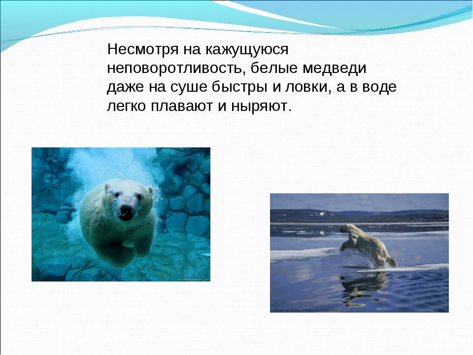 Несмотря на кажущуюся неповоротливость, белые медведи даже на суше быстры и л...