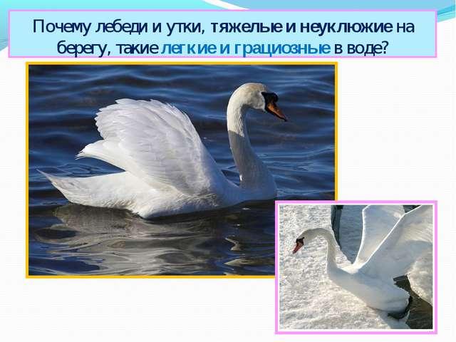 Почему лебеди и утки, тяжелые и неуклюжие на берегу, такие легкие и грациозны...