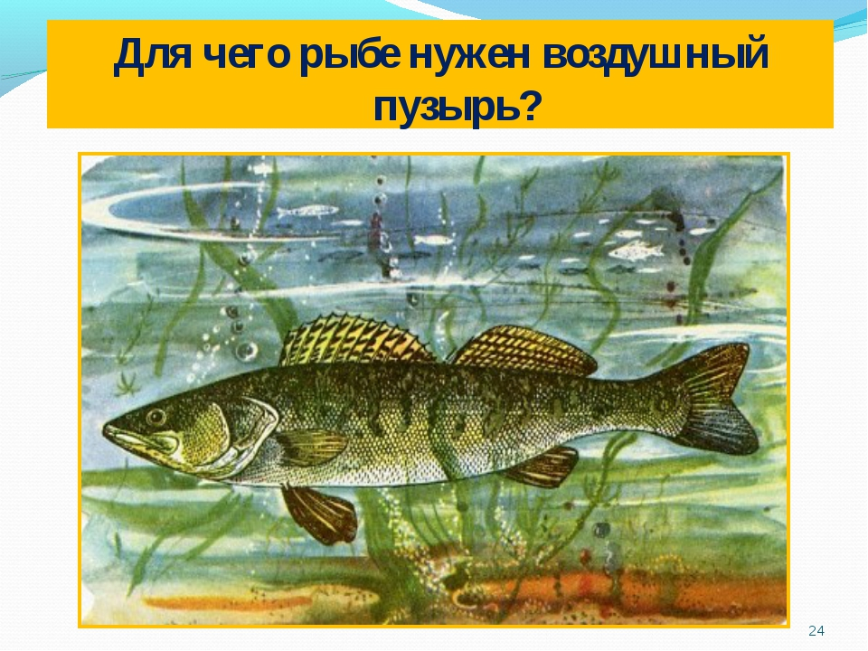 Для чего рыбе нужен воздушный пузырь? *