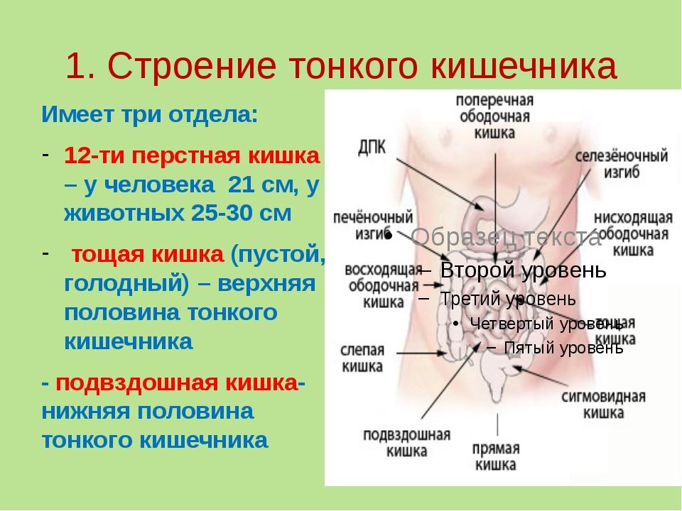 1. Строение тонкого кишечника Имеет три отдела: 12-ти перстная кишка – у чело...