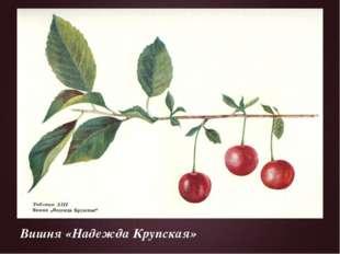 Вишня «Надежда Крупская»