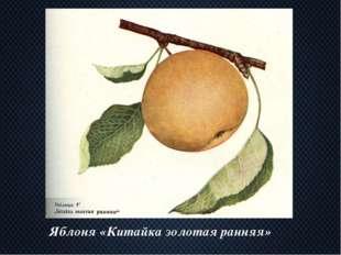 Яблоня «Китайка золотая ранняя»