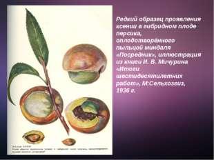 Редкий образец проявления ксении в гибридном плоде персика, оплодотворённого
