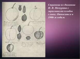 Страница из дневника И. В. Мичурина с зарисовками плодов сливы. Относится к 1