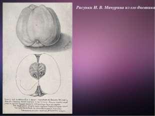 Рисунки И. В. Мичурина из его дневника.