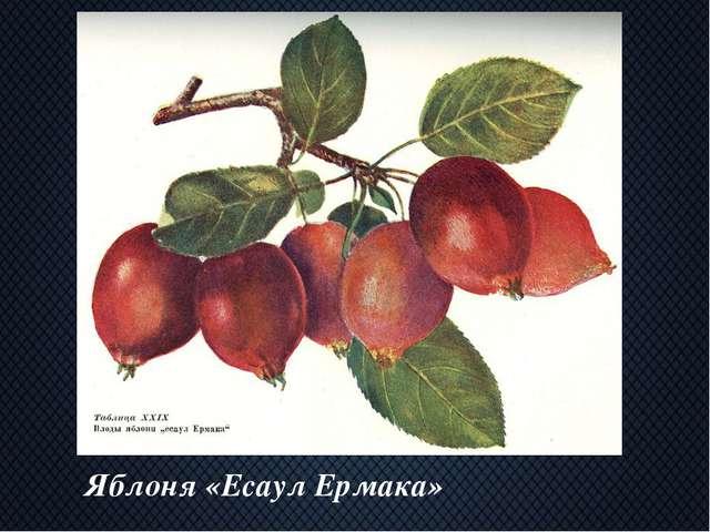 Яблоня «Есаул Ермака»