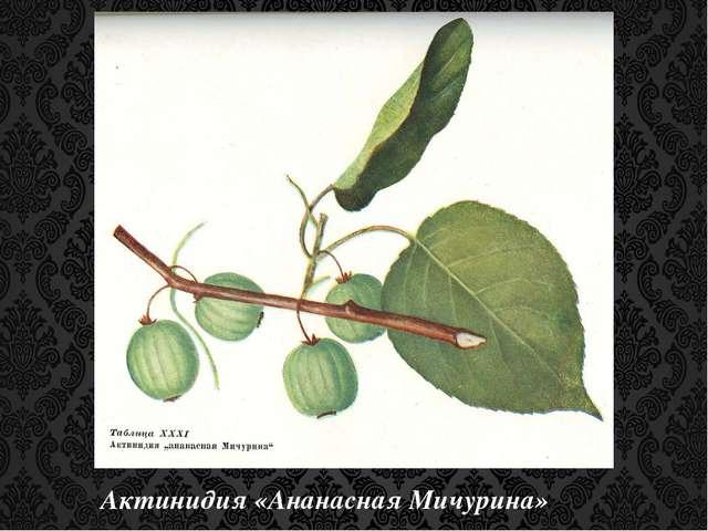 Актинидия «Ананасная Мичурина»