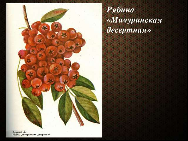Рябина «Мичуринская десертная»