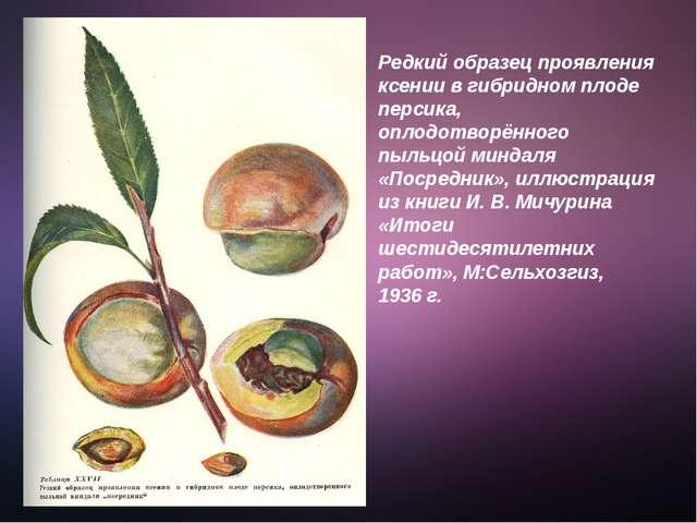 Редкий образец проявления ксении в гибридном плоде персика, оплодотворённого...