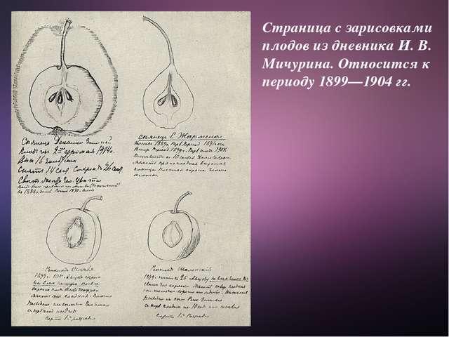 Страница с зарисовками плодов из дневника И. В. Мичурина. Относится к периоду...