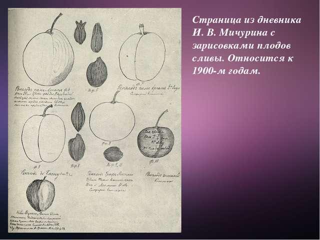 Страница из дневника И. В. Мичурина с зарисовками плодов сливы. Относится к 1...