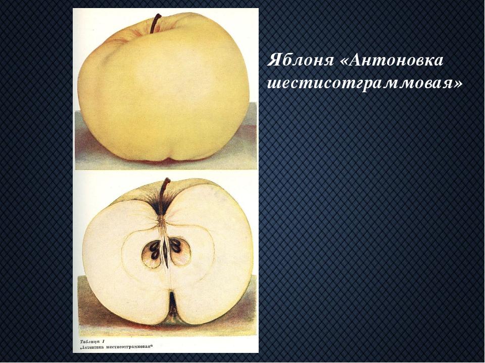 Яблоня «Антоновка шестисотграммовая»
