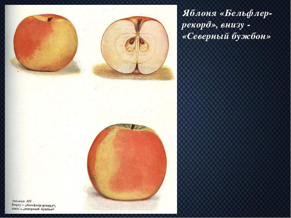 Яблоня «Бельфлер-рекорд», внизу - «Северный бужбон»