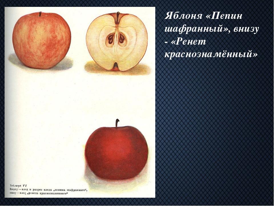 Яблоня «Пепин шафранный», внизу - «Ренет краснознамённый»