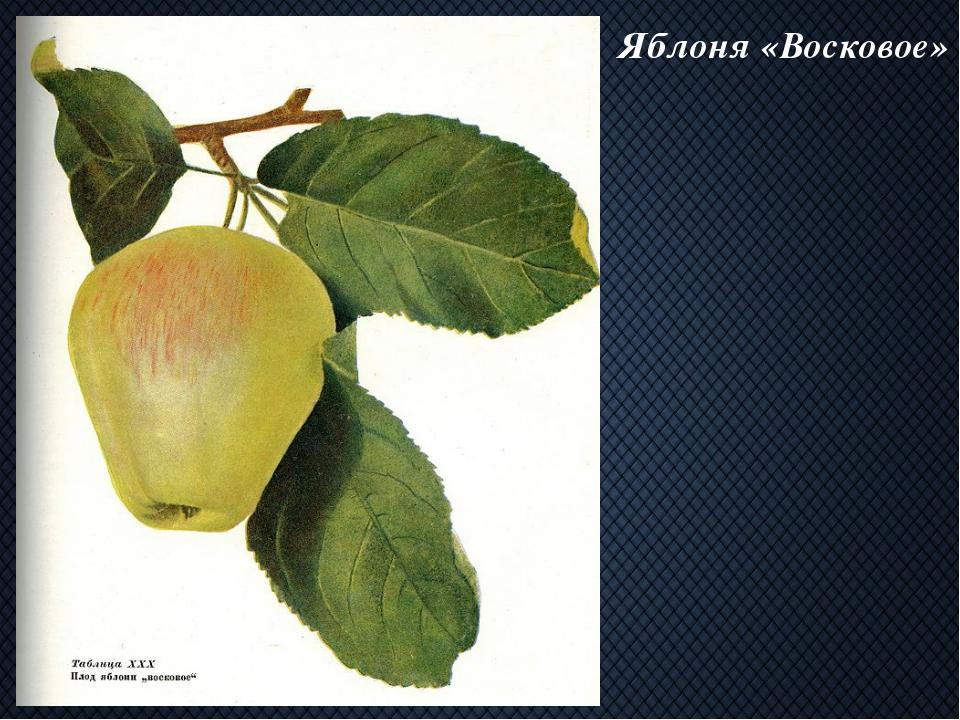 Яблоня «Восковое»
