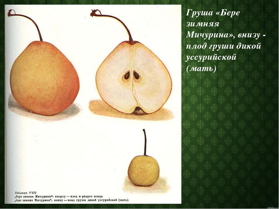 Груша «Бере зимняя Мичурина», внизу - плод груши дикой уссурийской (мать)