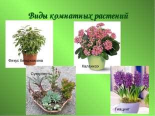 Виды комнатных растений Фикус Бенджамина Каланхоэ Суккуленты Гиацинт