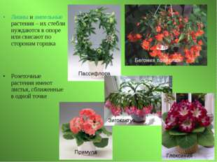 Лианы и ампельные растения – их стебли нуждаются в опоре или свисают по сторо