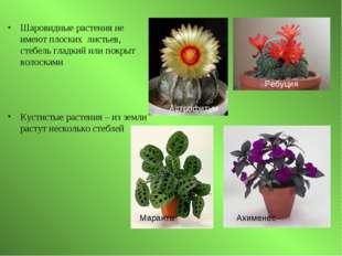 Шаровидные растения не имеют плоских листьев, стебель гладкий или покрыт воло