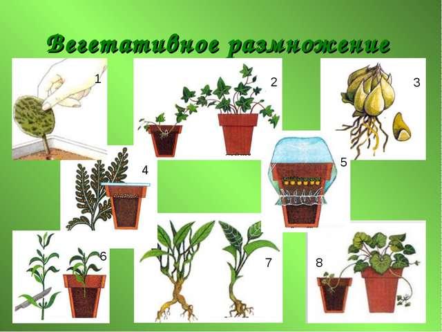 Вегетативное размножение 1 2 3 4 5 6 7 8
