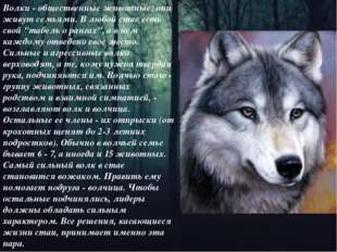"""Волки - общественные животные: они живут семьями. В любой стае есть свой """"таб"""