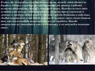 В стае, где за порядком следит вожак, волки между собой обычно не дерутся. Од